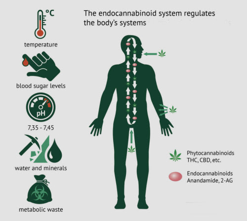 How CBD affects the body - 2